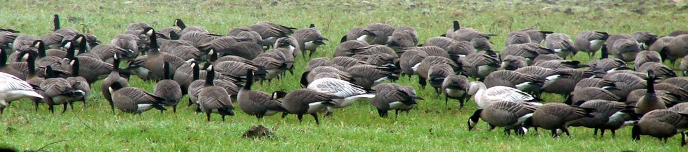 October: Canada and Snow geese return to Santiam Valley Ranch.
