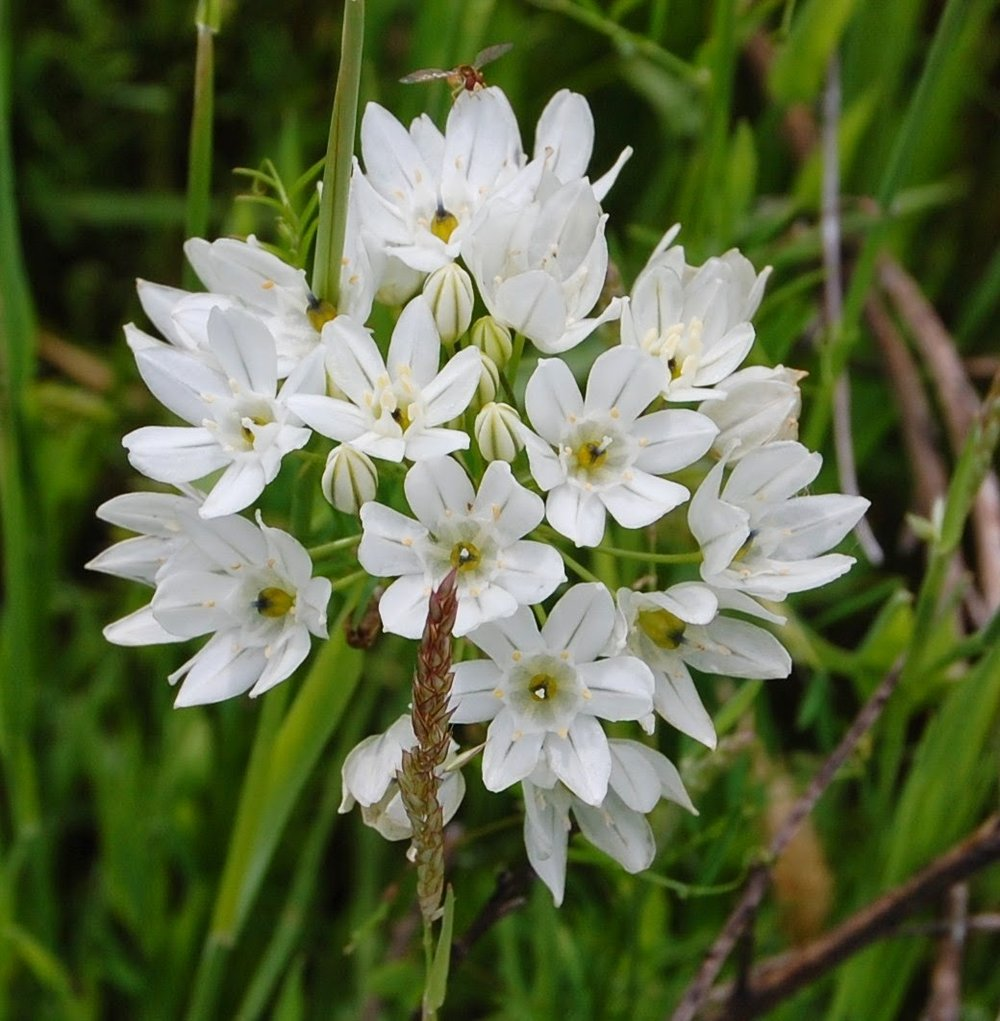 Fool's Onion ( Brodiaea hyacinthina)