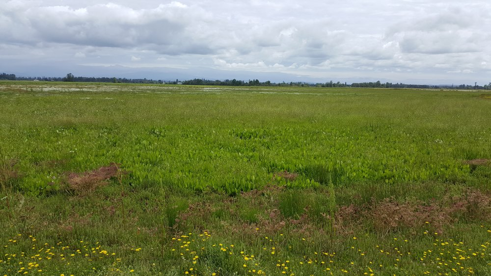 SW field with seasonal pools filled with Water-plantain ( Alisma spp.)  and an occasional Bulrush (  Schoenoplectus  spp  .).