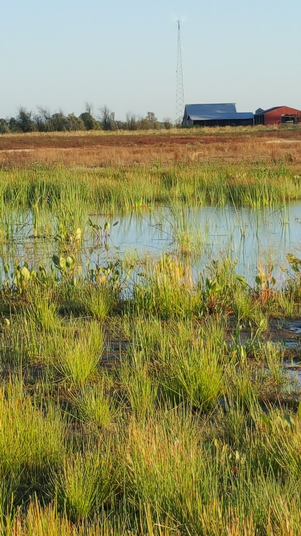NE field venal pools become more established with rushes, Water-plantains and cattails ( Typha spp .)