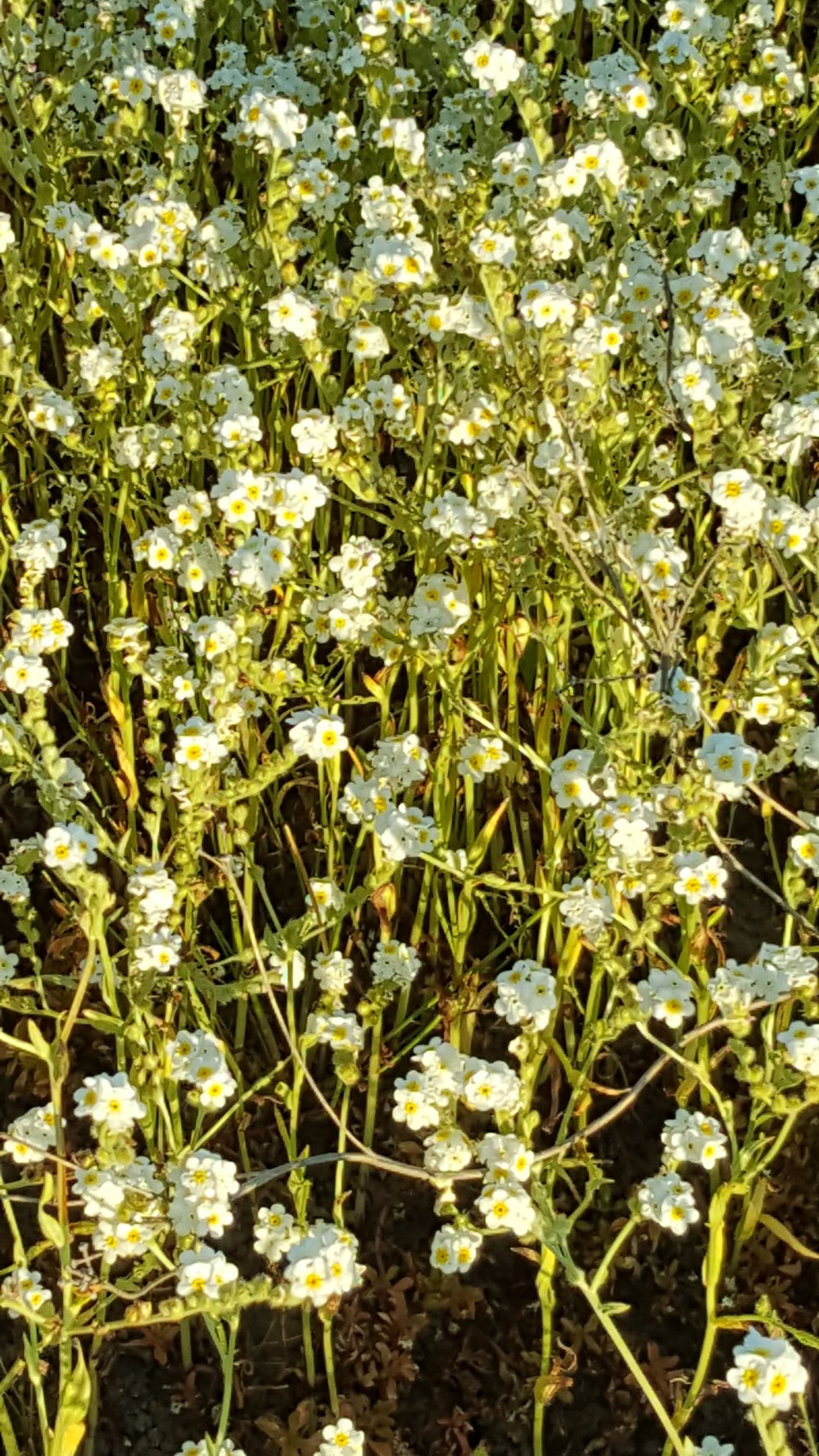 Fragrant popcorn flower, ( Plagiobothrys figuratus )