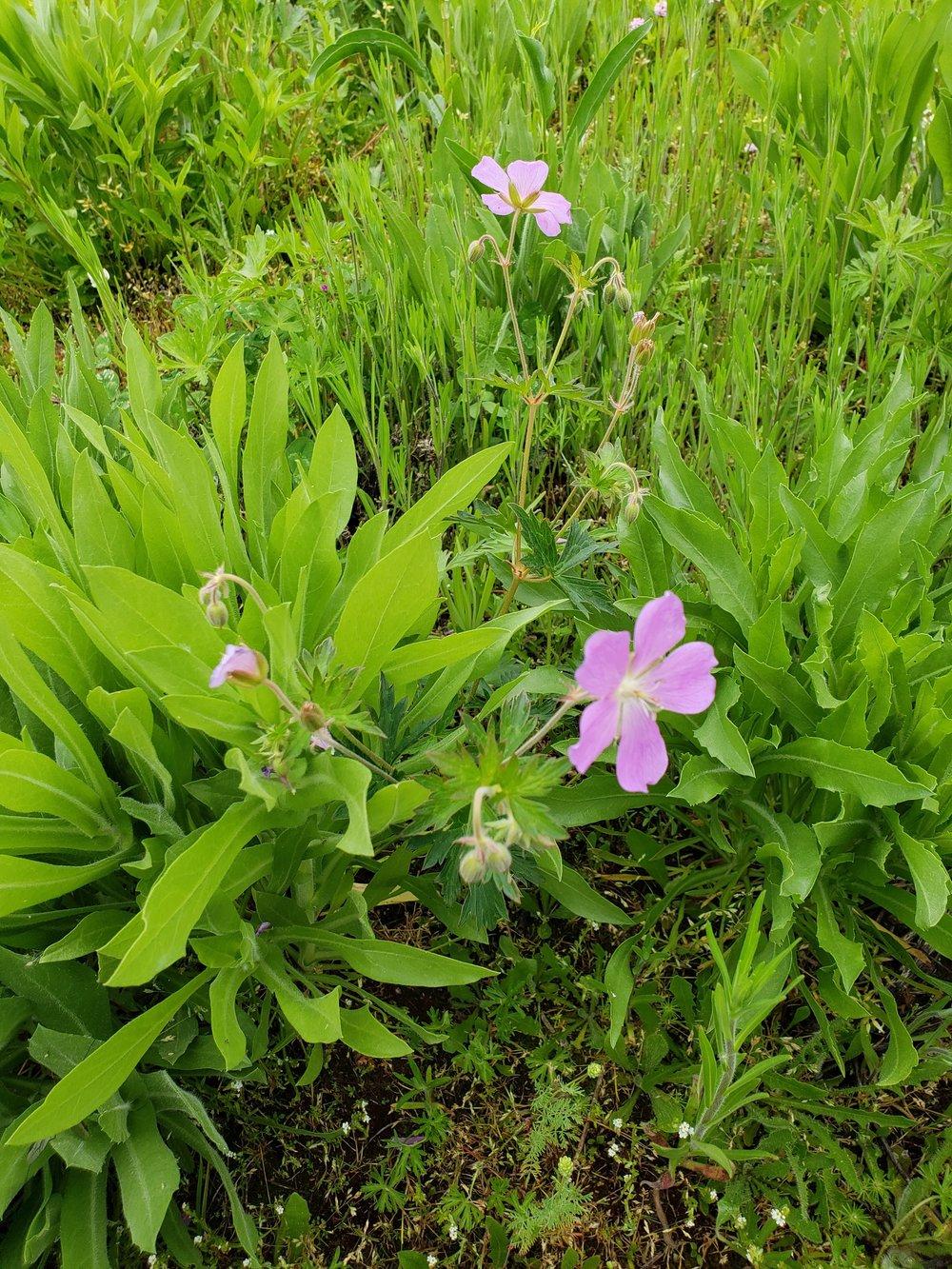 Oregon geranium, ( Geranium oreganum )
