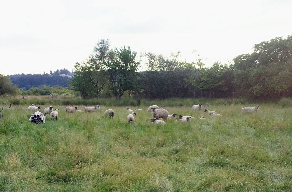 A few ewes and lambs in field next to house.