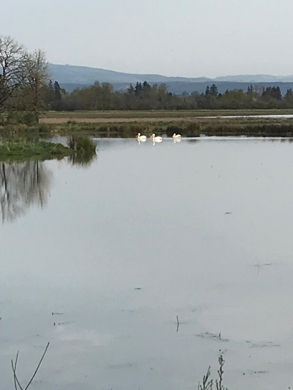 White pelicans visit Santiam Valley Ranch.