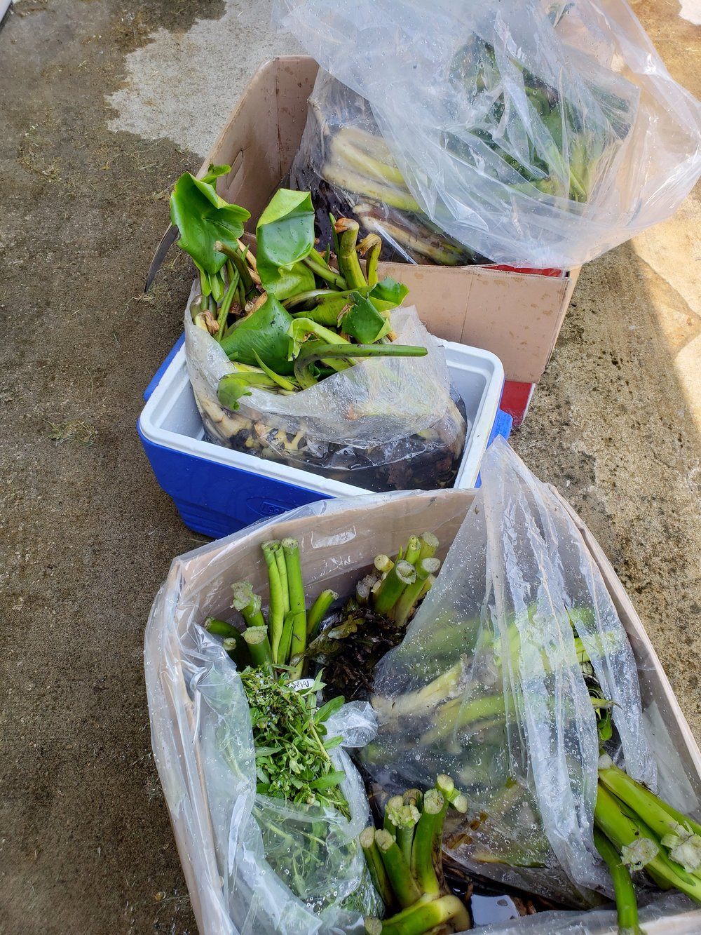 Aquatic plants arrive from Balance Restoration Nursery, Lorane, OR