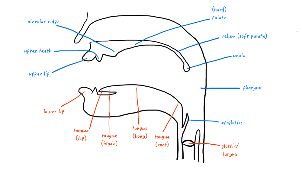 A cartoon representation of the vocal tract, with articulators labelled.