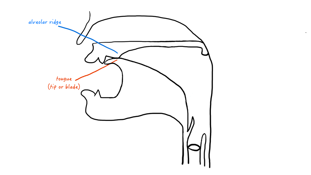 A cartoon representation of the alveolar place of articulation