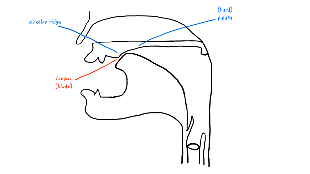 A cartoon representation of the postalveolar place of articulation