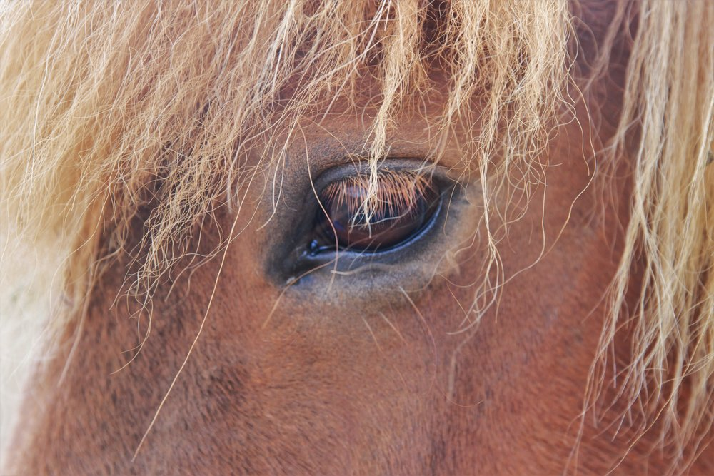 All Icelandic horses have emo haircuts.