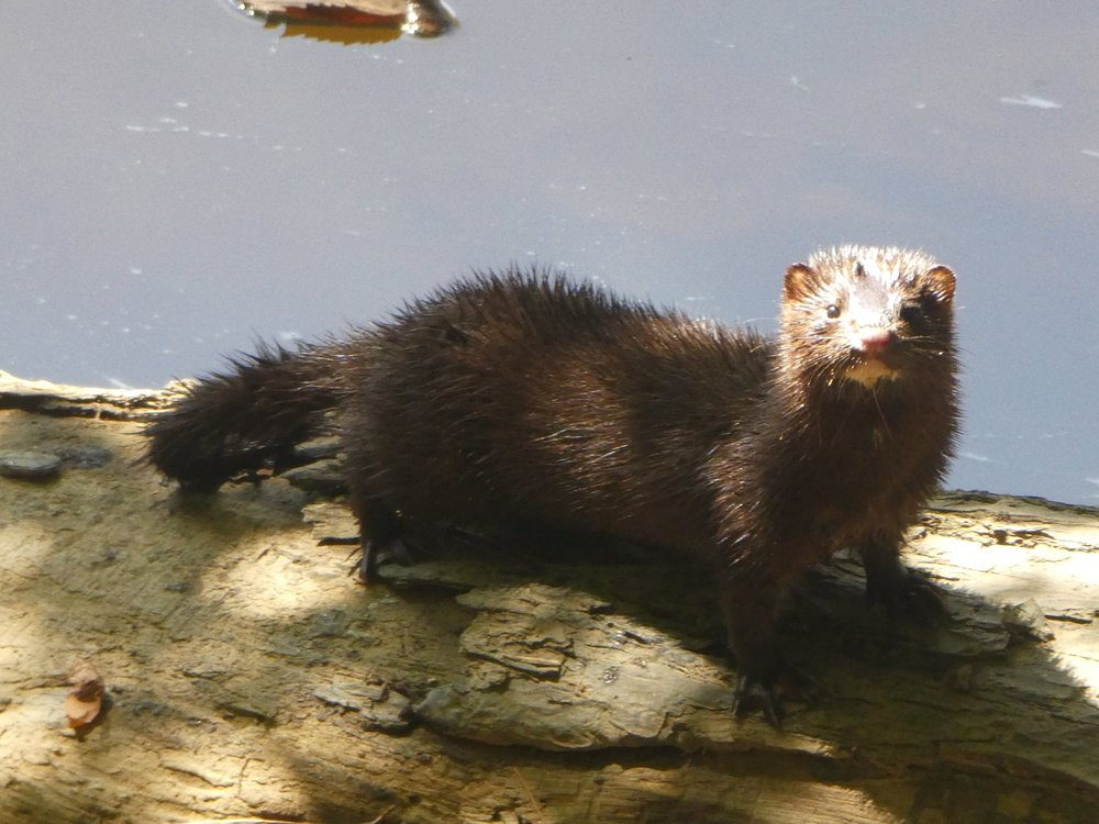 This mink was taking a walk along the banks of the Haw River.