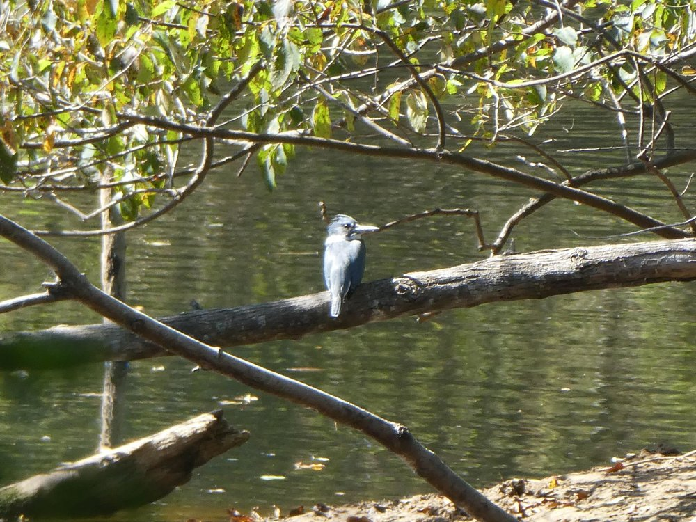 Dr. Kev had been watching this kingfisher dart up and down the Haw for about an hour when it finally sat still long enough to pose for a picture.