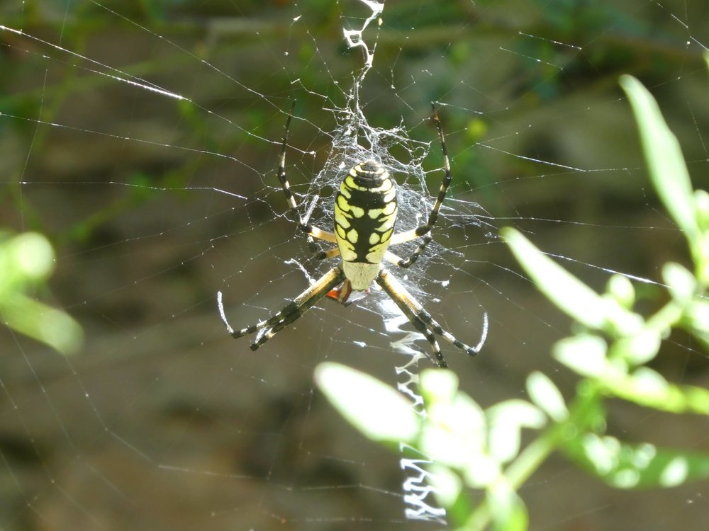 Dr. Kev's still a bit unnerved by spiders, but this yellow garden spider is beautiful.