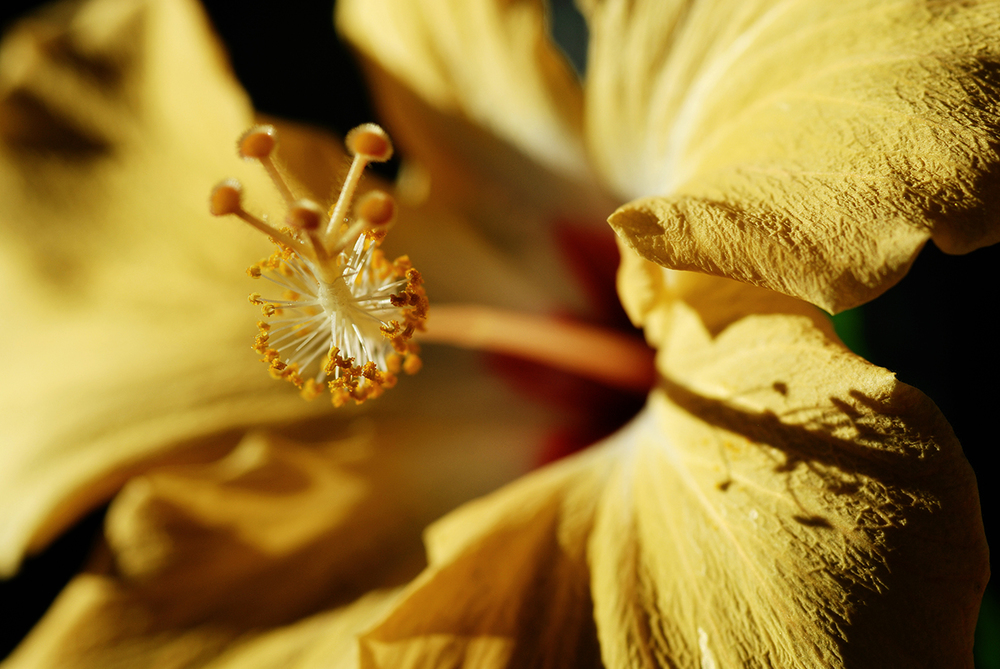 """Hibiscus in Gold"""