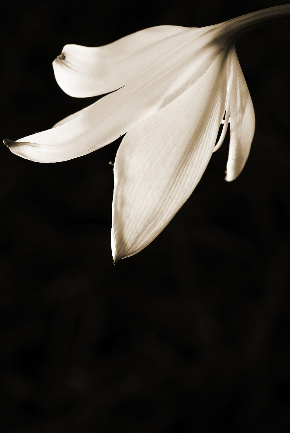 """Zephyr Lily"""