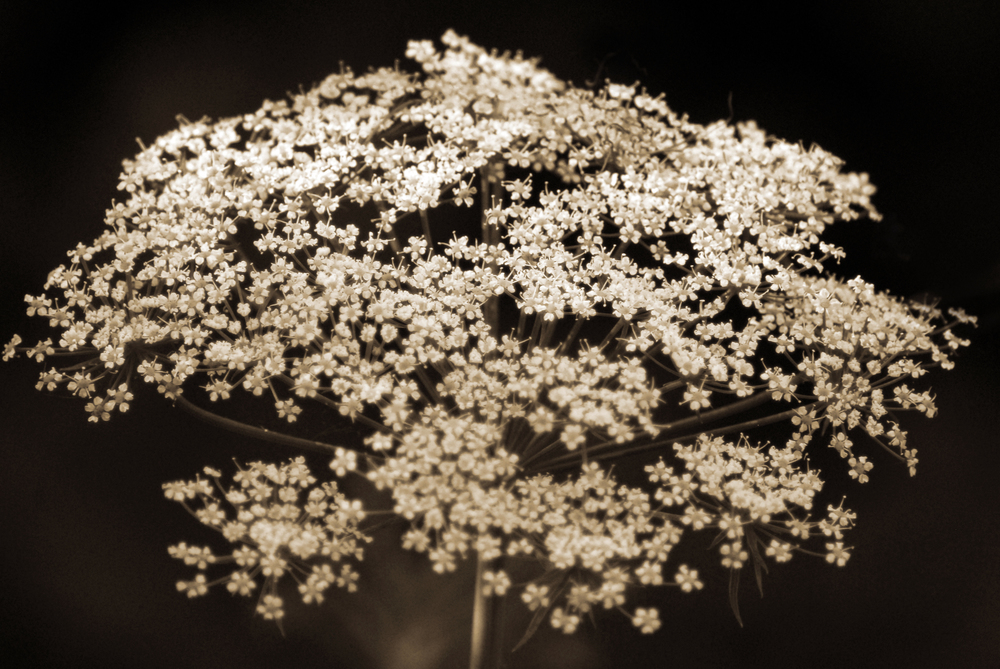 """Queen Anne's Lace"""