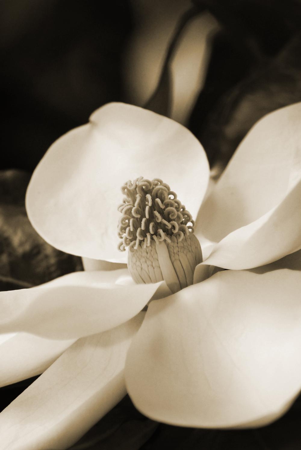 """""""Magnolia No. 2"""""""