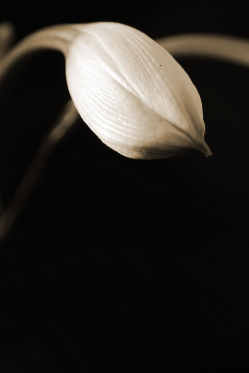 LilyClosedS.jpg