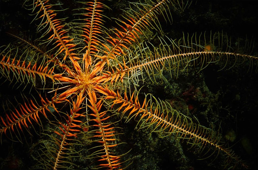 Cold-Water_Feather-Star.jpg
