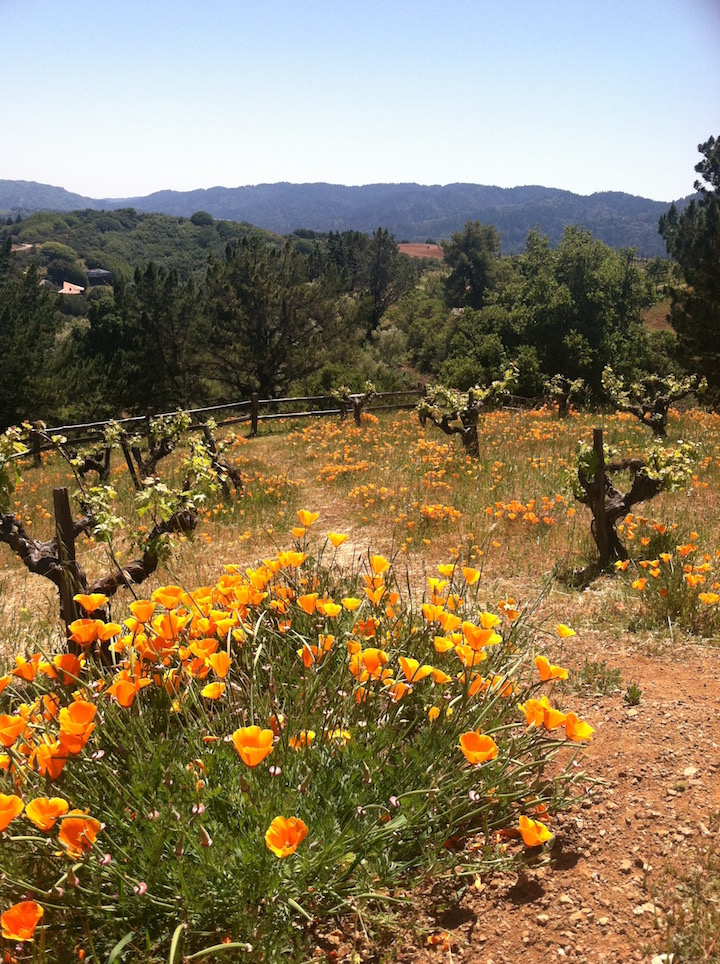 California Poppies in full bloom at Ridge Winery in Cupertino, California.