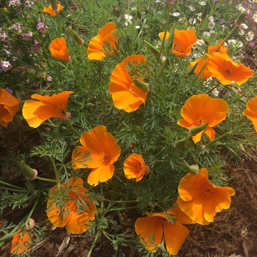 California Poppies blooming in Pacific Grove, California.