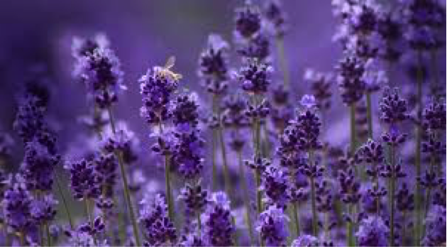 Lavender Essential Oils are great for anti-septic adn anti-inflammatory properties.