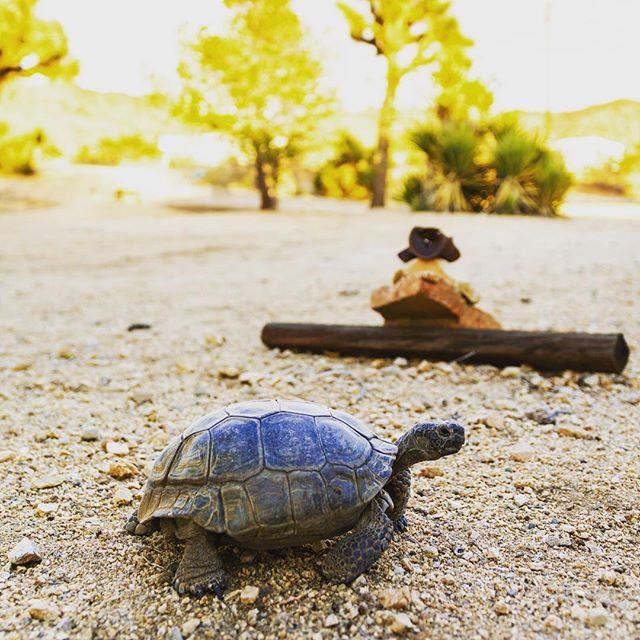 Look who is kicking it at @campjoshuatree 🐢🐢🐢 #hidesert #joshuatree
