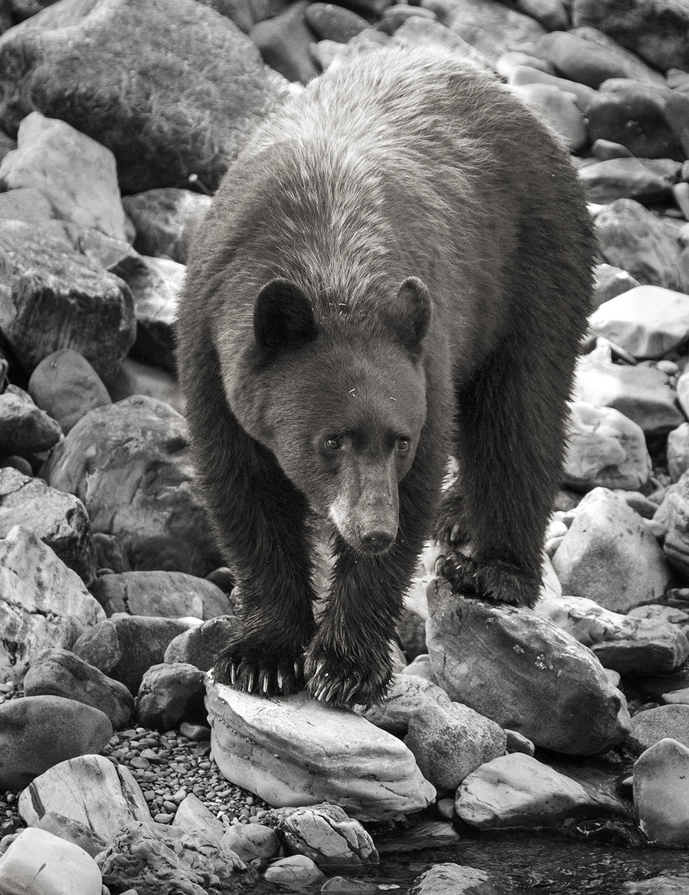 ig••BW bear bw _MG_9742.jpg