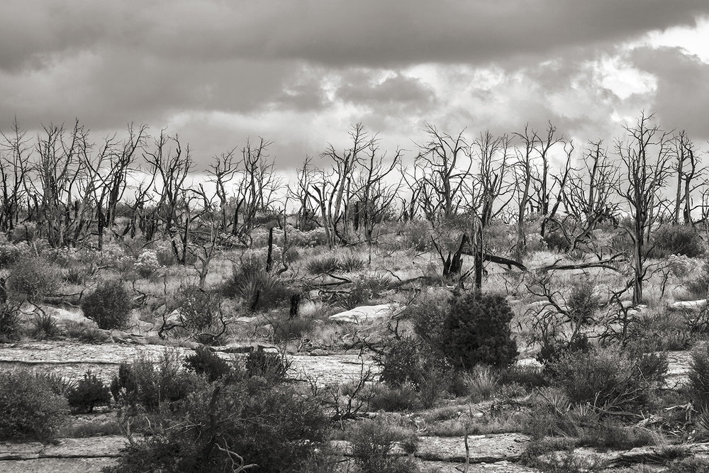 Burnt Trees, Mesa Verde, Colorado