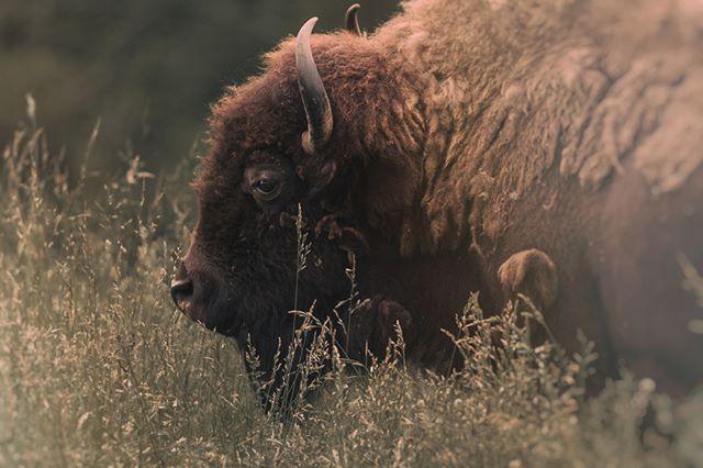 Bison at northwest trek! #bison #wildlife #northwesttrek