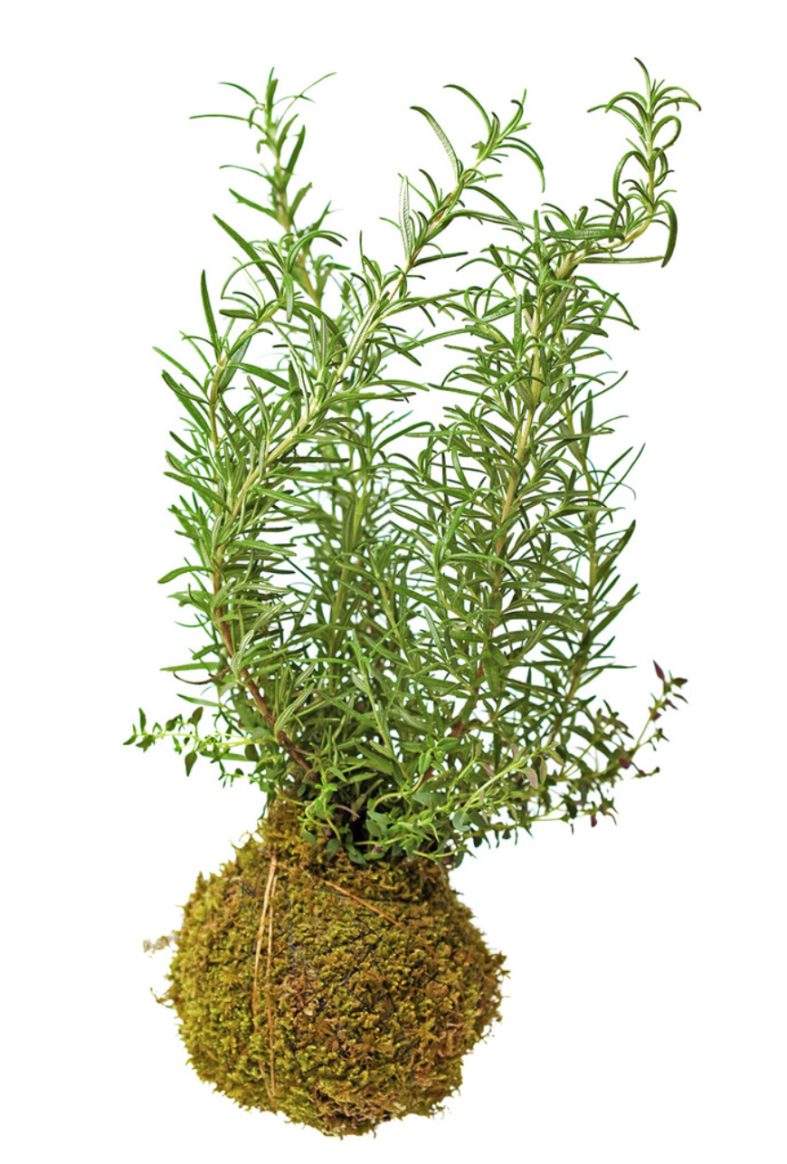 Hanging Rosemary Thyme Moss Garden