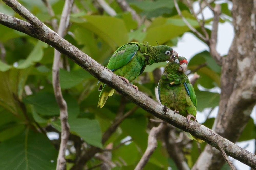 A Puerto Rican Parrot preens his mate. Our lab has studied pair bonding and dialect formation in this endangered species. Photograph by Tanya Martinez.