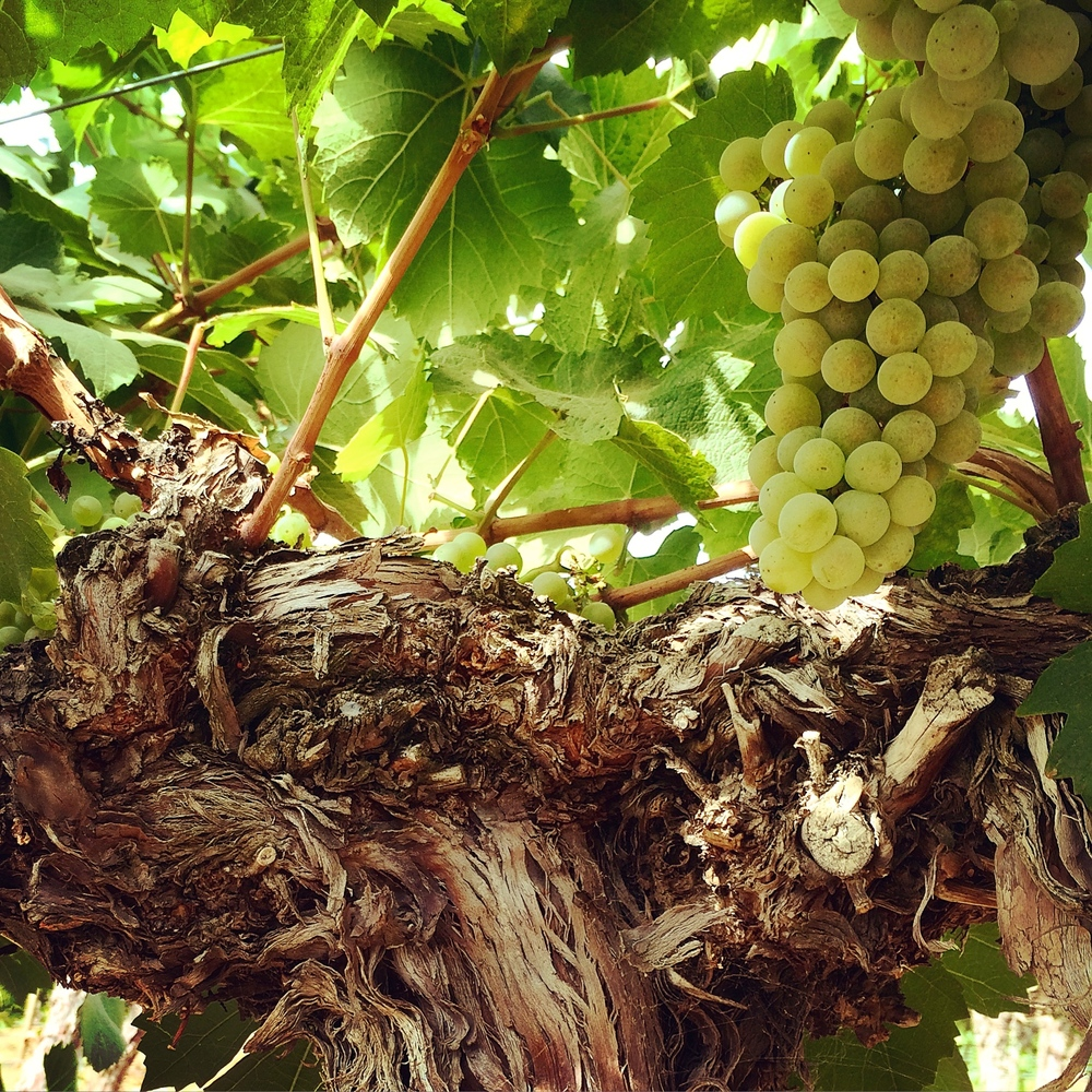 White wine grapes growing on a vine flanked by leaves