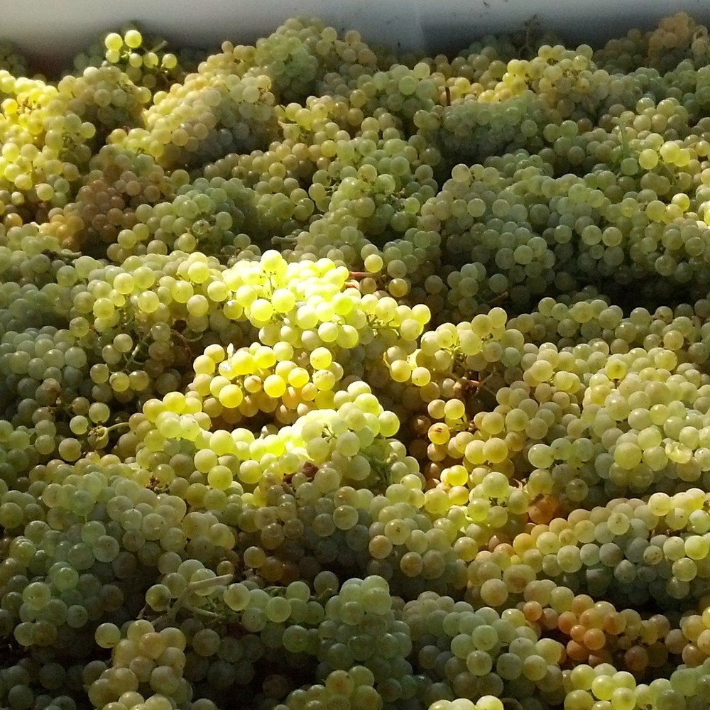 Bunches of picked white wine grapes waiting to be crushed