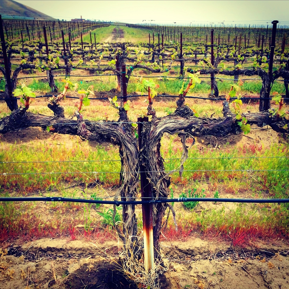 Knotted vines with the beginnings of wine grapes on them