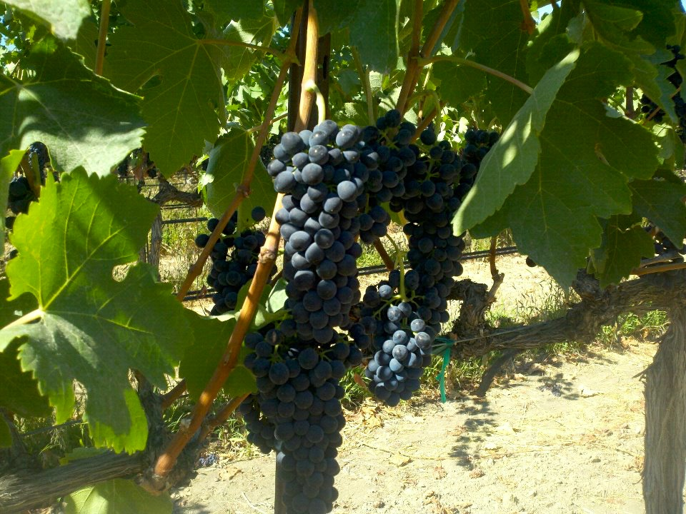 Red wine grapes growing on the vine flanked by leaves