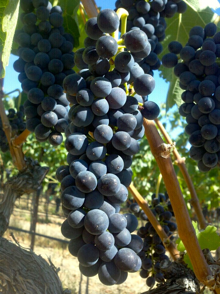 Close up of red wine grapes growing on the vine flanked by leaves