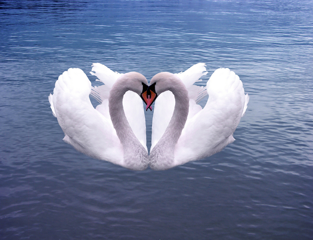 2 Swans.jpg