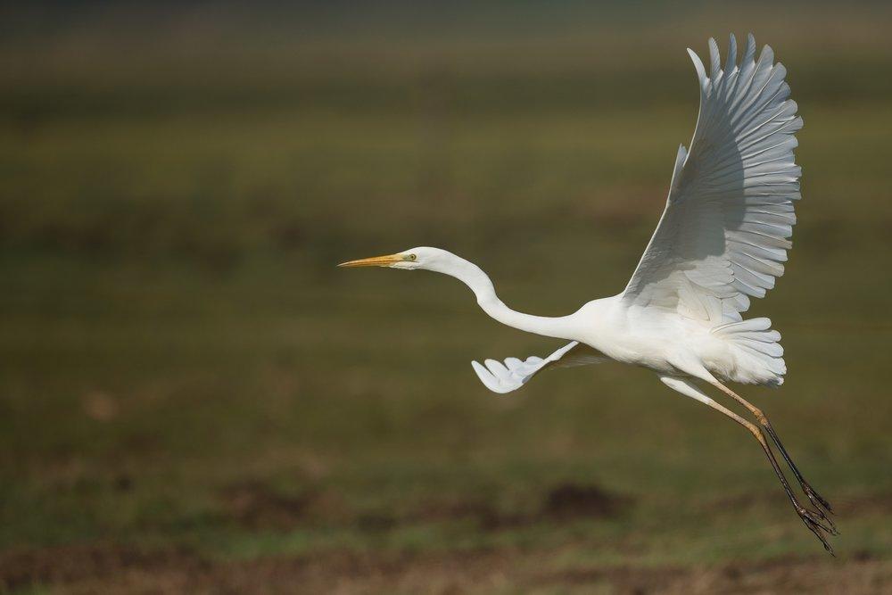 heron flight.jpg