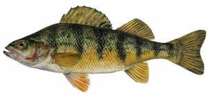 lake erie yellow perch