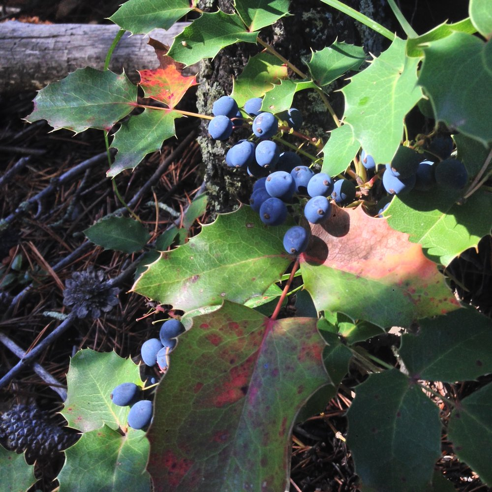 Creeping Oregon Grape ( Mahonia repens )