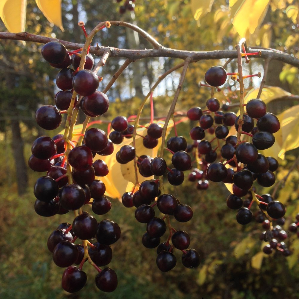 Chokecherries ( Prunus virginiana )