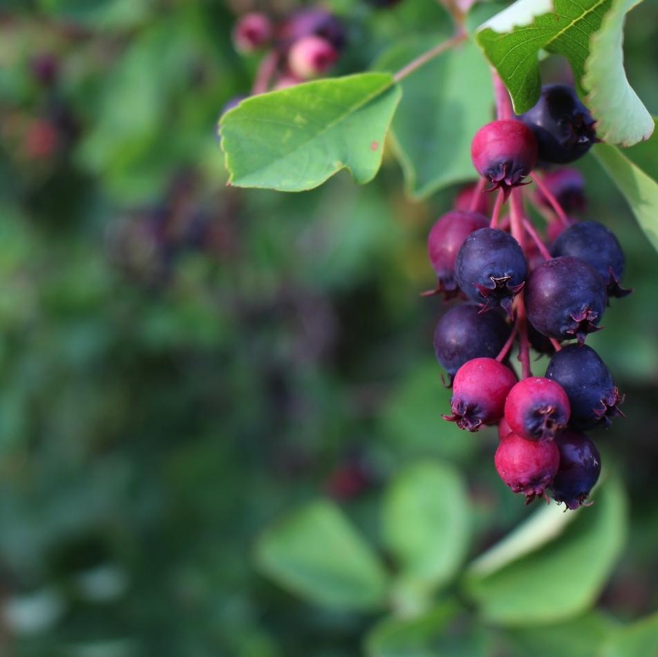 Saskatoons ( Amelanchier alnifolia )