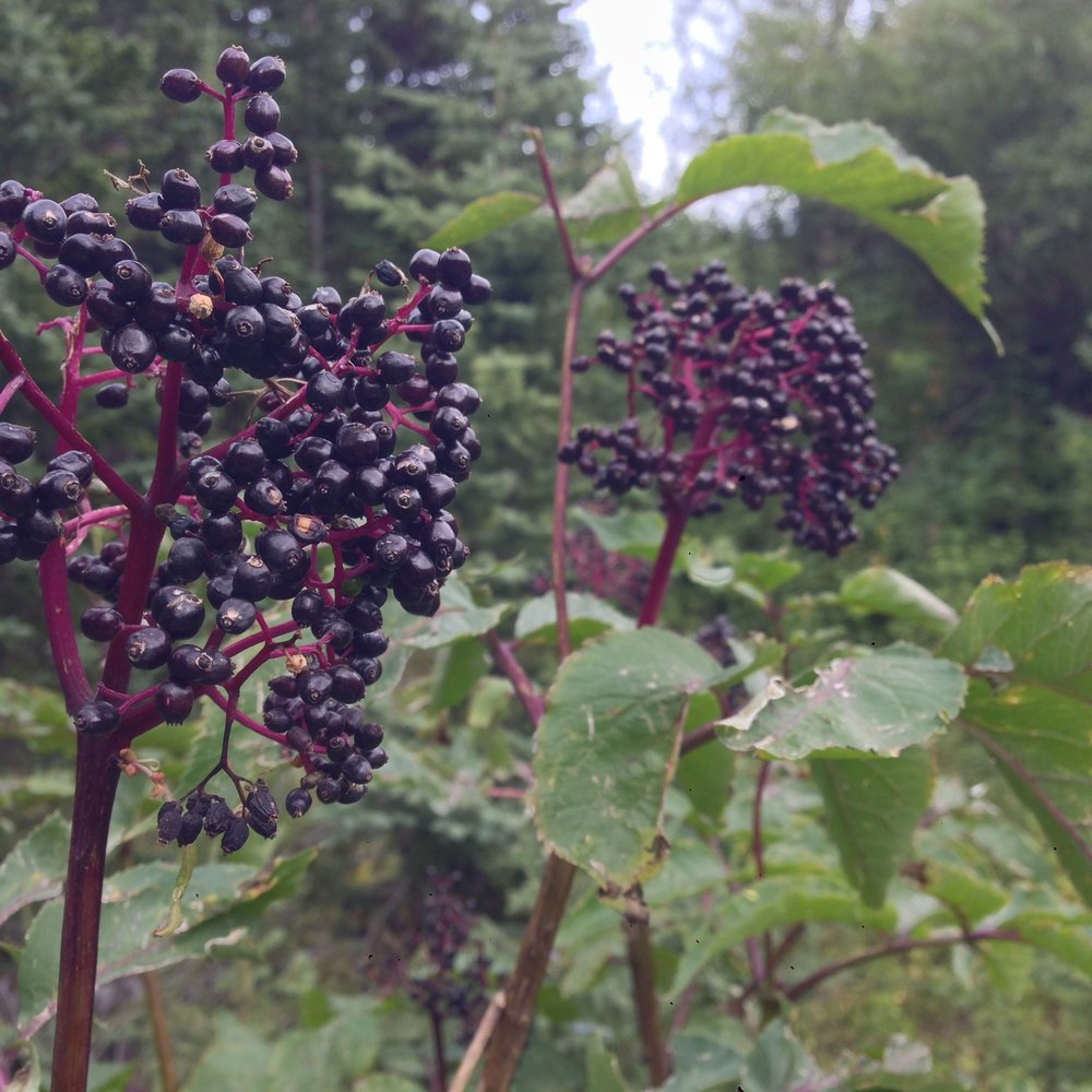 Black Elderberries ( Sambucus nigra )