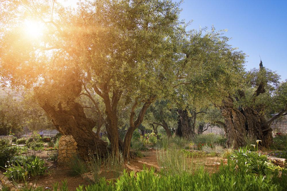 Garden of Gethsemane, Jerusalem, Israel