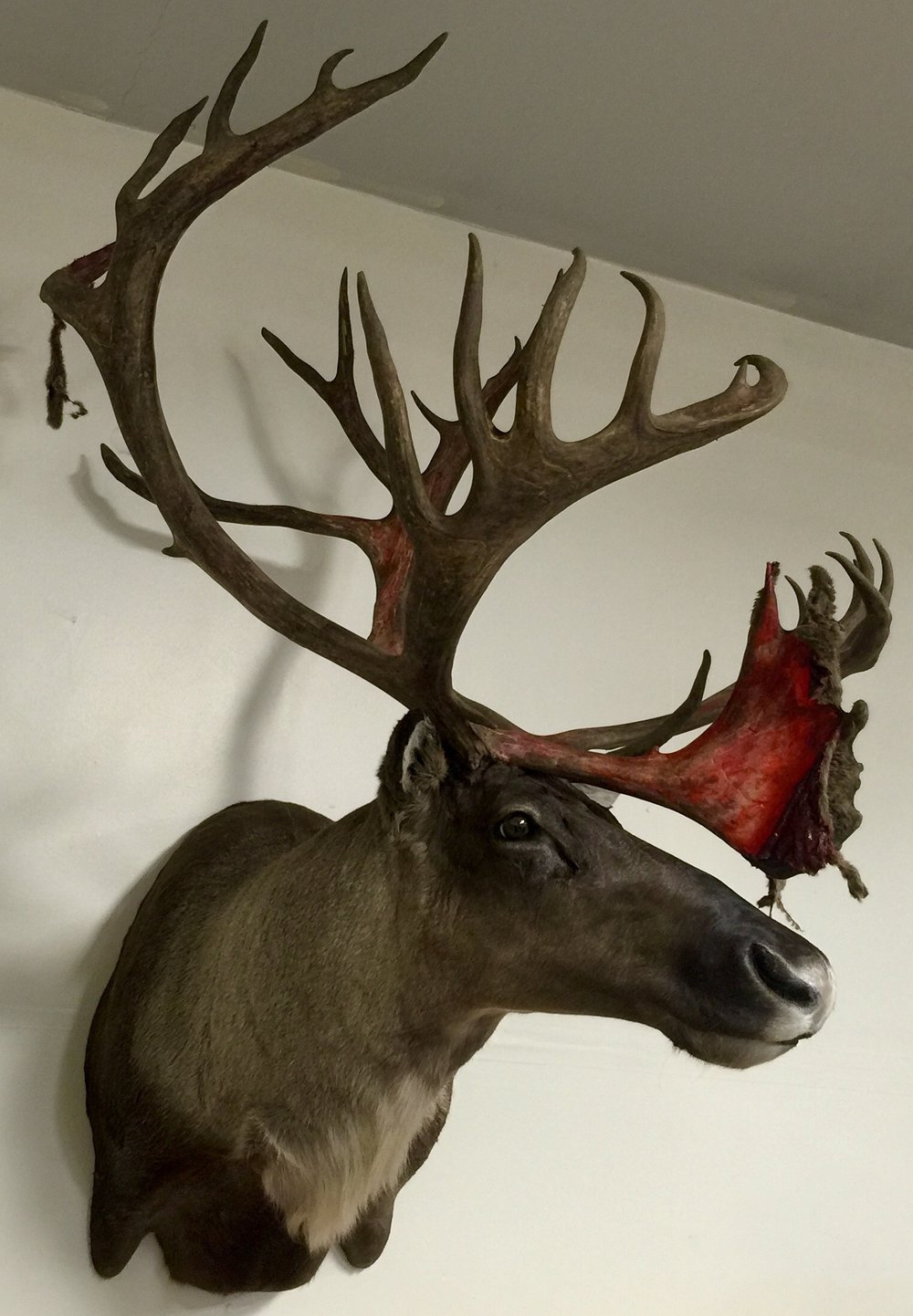 I asked the taxidermist to make it look exactly like he did in the field - blood & velvet and all!