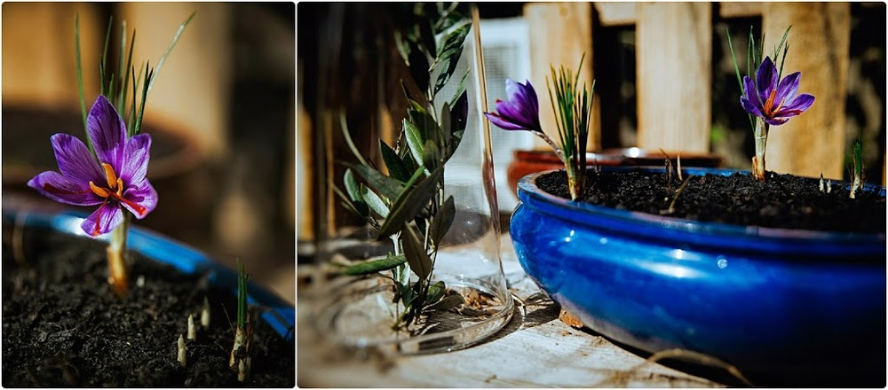 floral and still life photography #BouquetOfGoldAndLove #GoldInThePot #SaffronFlowers #FirstShoots #Spices #Homegrown #GardenTable #GlassCloche #OliveBranches #SophiaTerraZiva