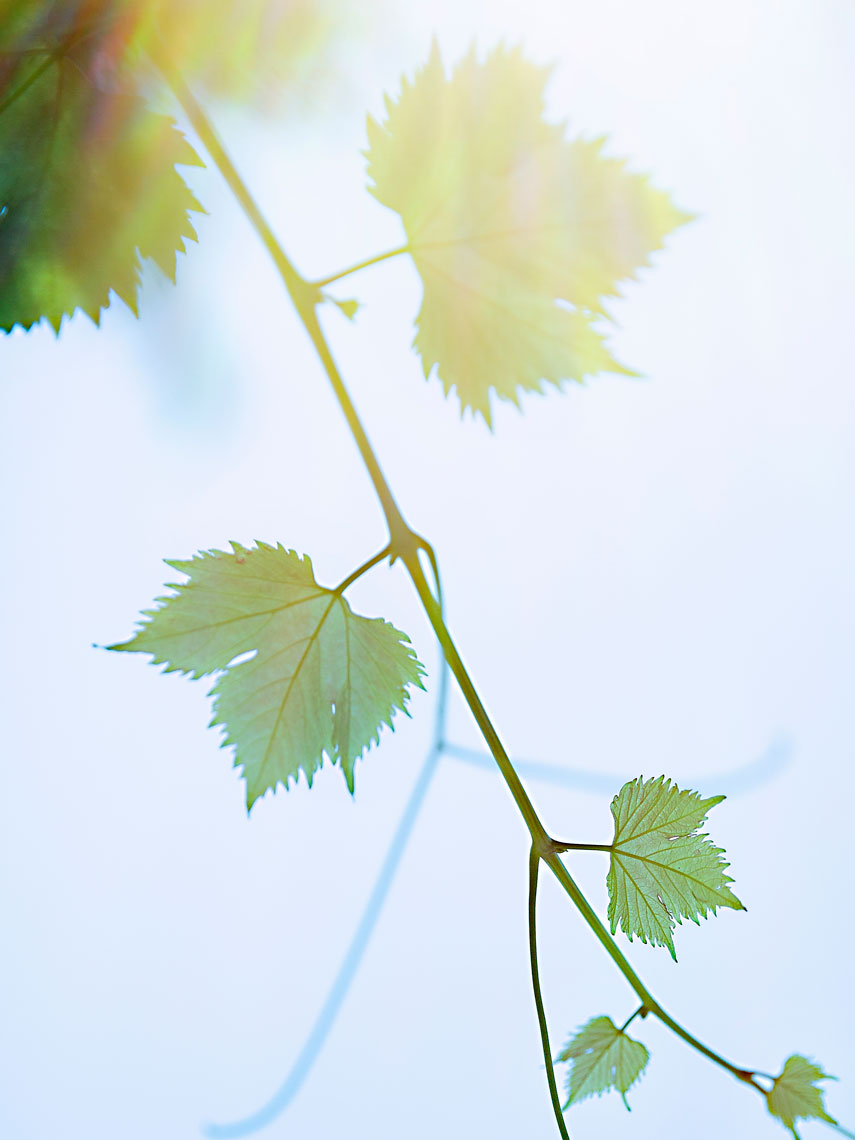 A TOAST 01 #grape #vines #sun #flare #hot #summer #sky