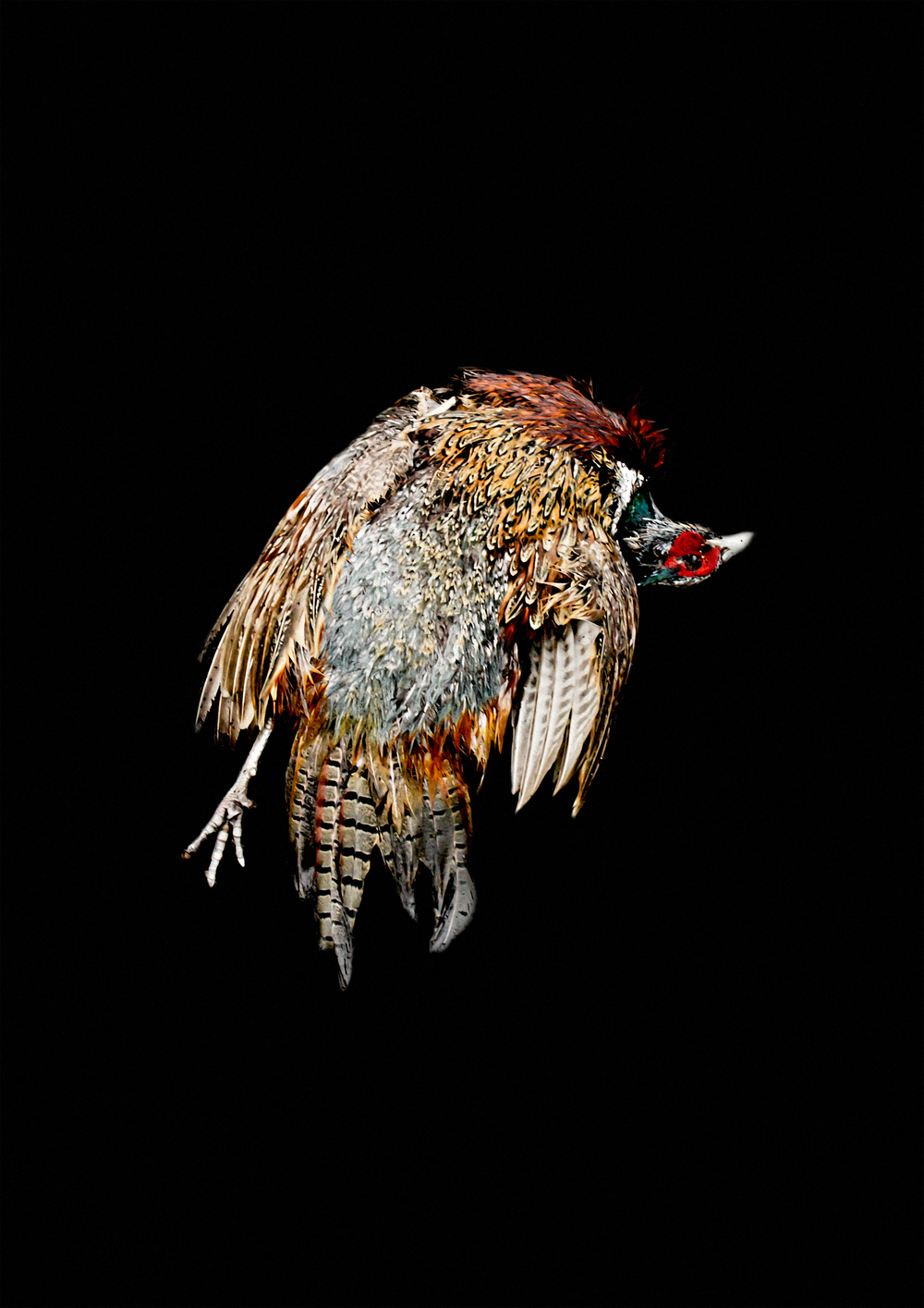 Carcass, fasaani, 2015. Karoliina Paappa