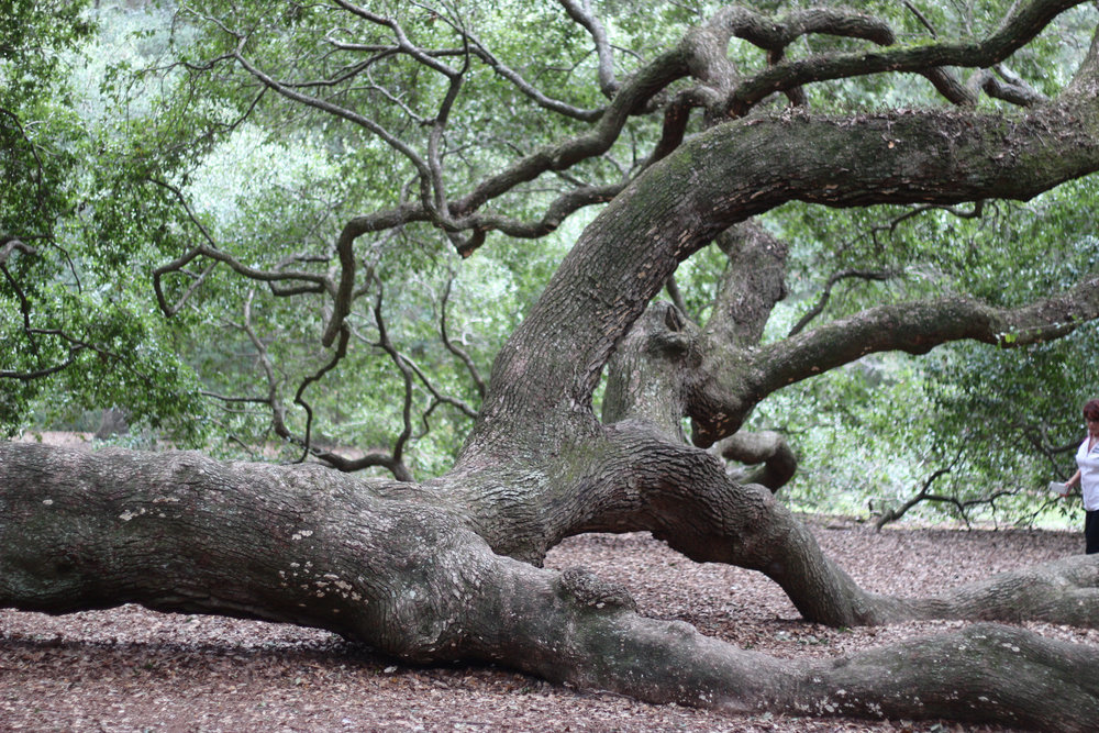 angel oak tree is a must stop on my weekend guide to charleston