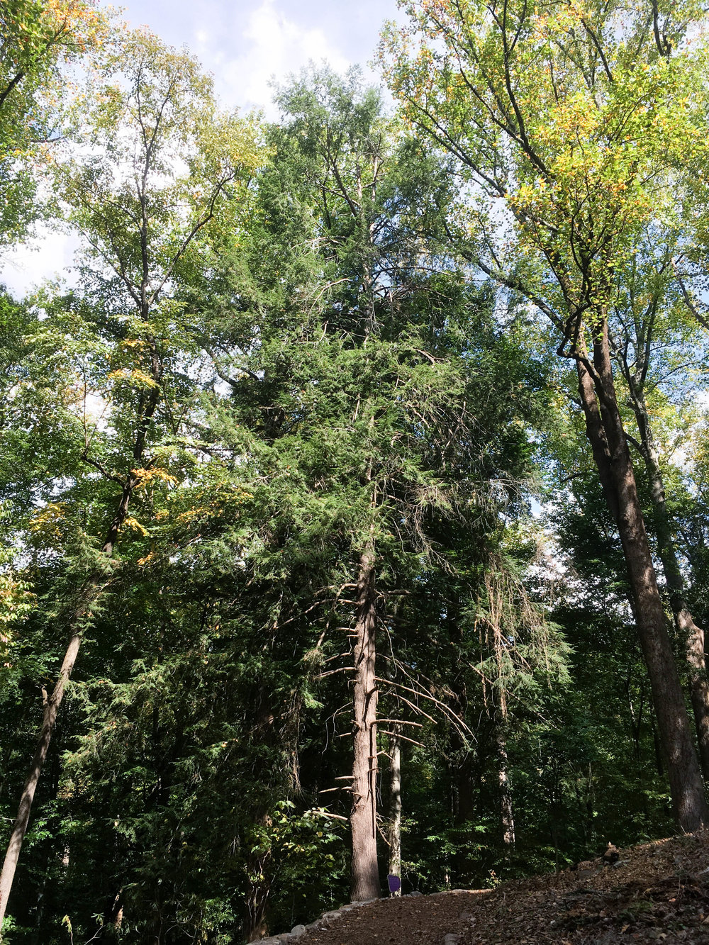 Atlanta's champion Eastern Hemlock, October 20, 2016